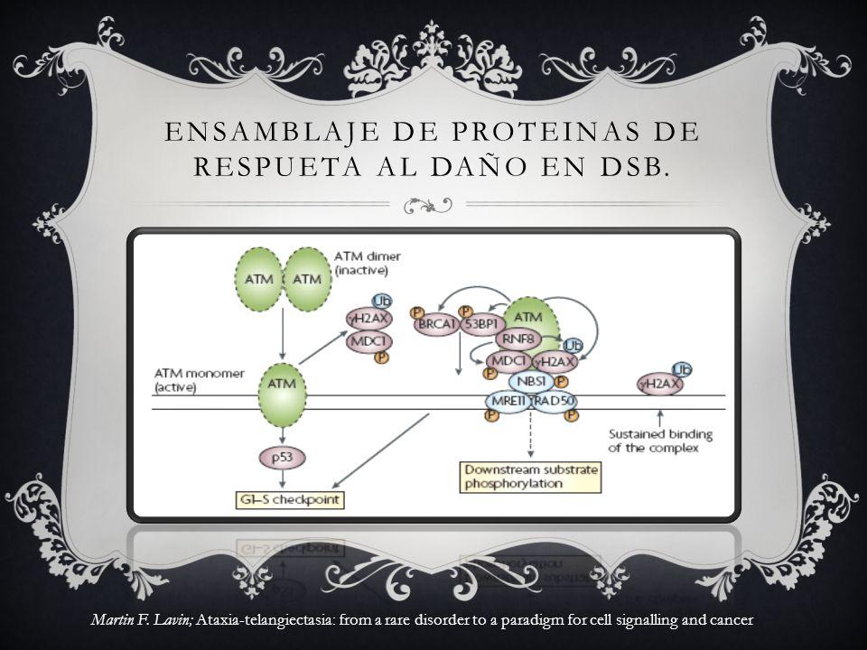 ENSAMBLAJE DE PROTEINAS DE RESPUETA AL DAÑO EN DSB. Martin F. Lavin; Ataxia-telangiectasia: from a rare disorder to a paradigm for cell signalling and