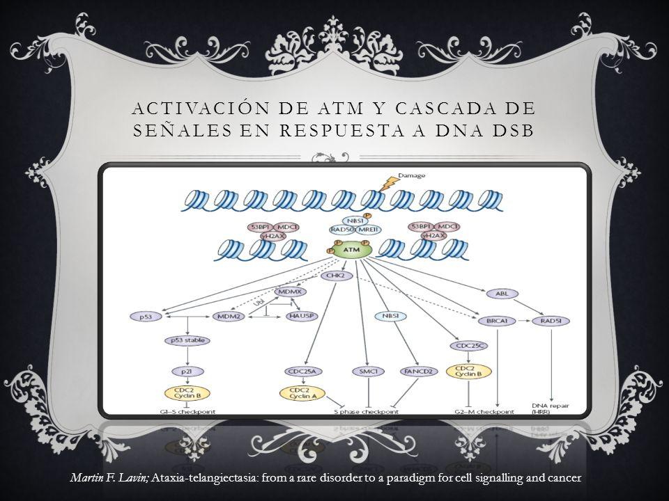 ACTIVACIÓN DE ATM Y CASCADA DE SEÑALES EN RESPUESTA A DNA DSB Martin F. Lavin; Ataxia-telangiectasia: from a rare disorder to a paradigm for cell sign