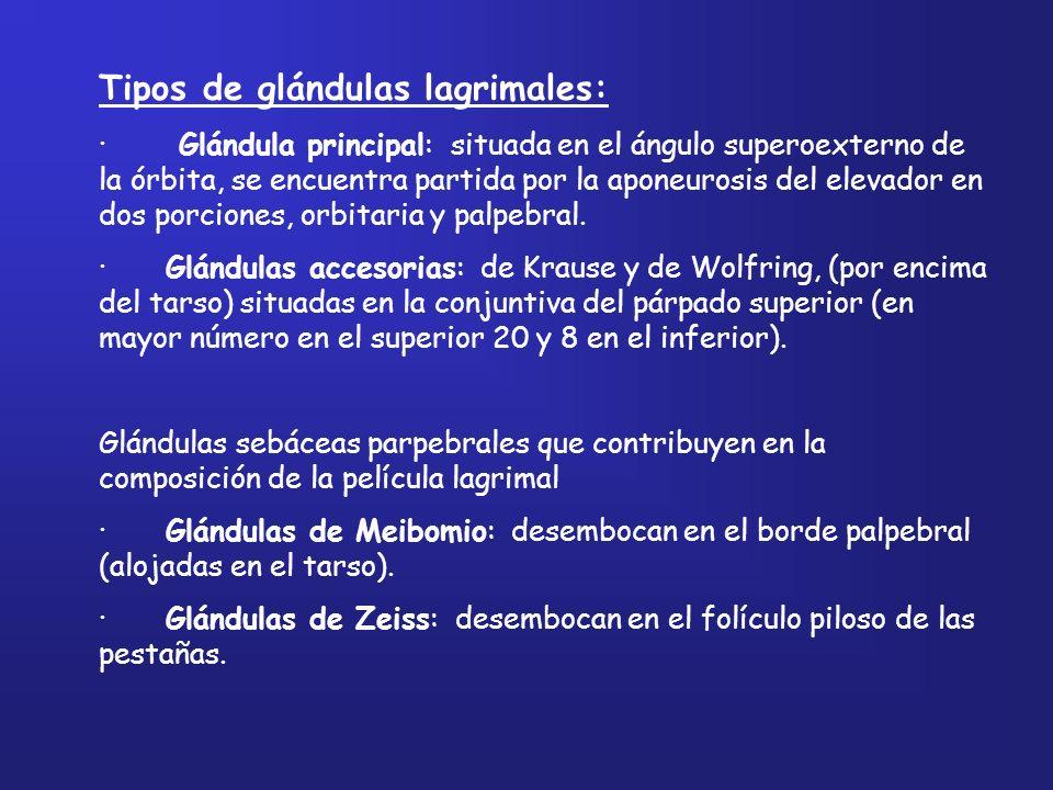 Tipos de glándulas lagrimales: · Glándula principal: situada en el ángulo superoexterno de la órbita, se encuentra partida por la aponeurosis del elev