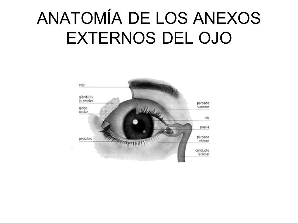 ANATOMÍA DE LOS ANEXOS EXTERNOS DEL OJO