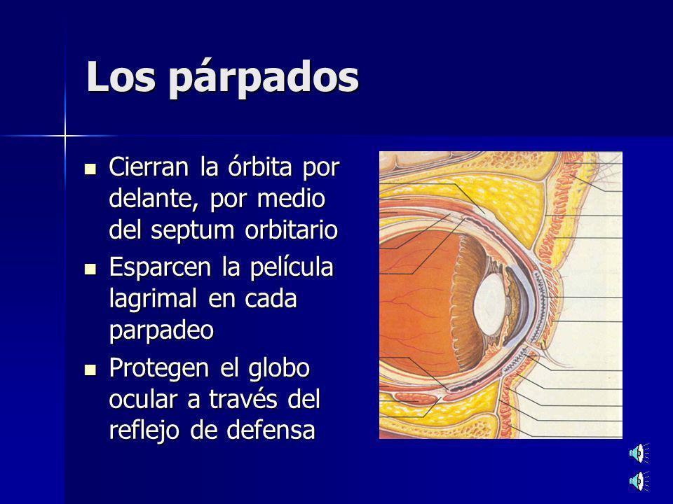 Los párpados Cierran la órbita por delante, por medio del septum orbitario Cierran la órbita por delante, por medio del septum orbitario Esparcen la película lagrimal en cada parpadeo Esparcen la película lagrimal en cada parpadeo Protegen el globo ocular a través del reflejo de defensa Protegen el globo ocular a través del reflejo de defensa