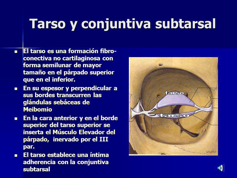 Tarso y conjuntiva subtarsal El tarso es una formación fibro- conectiva no cartilaginosa con forma semilunar de mayor tamaño en el párpado superior que en el inferior.