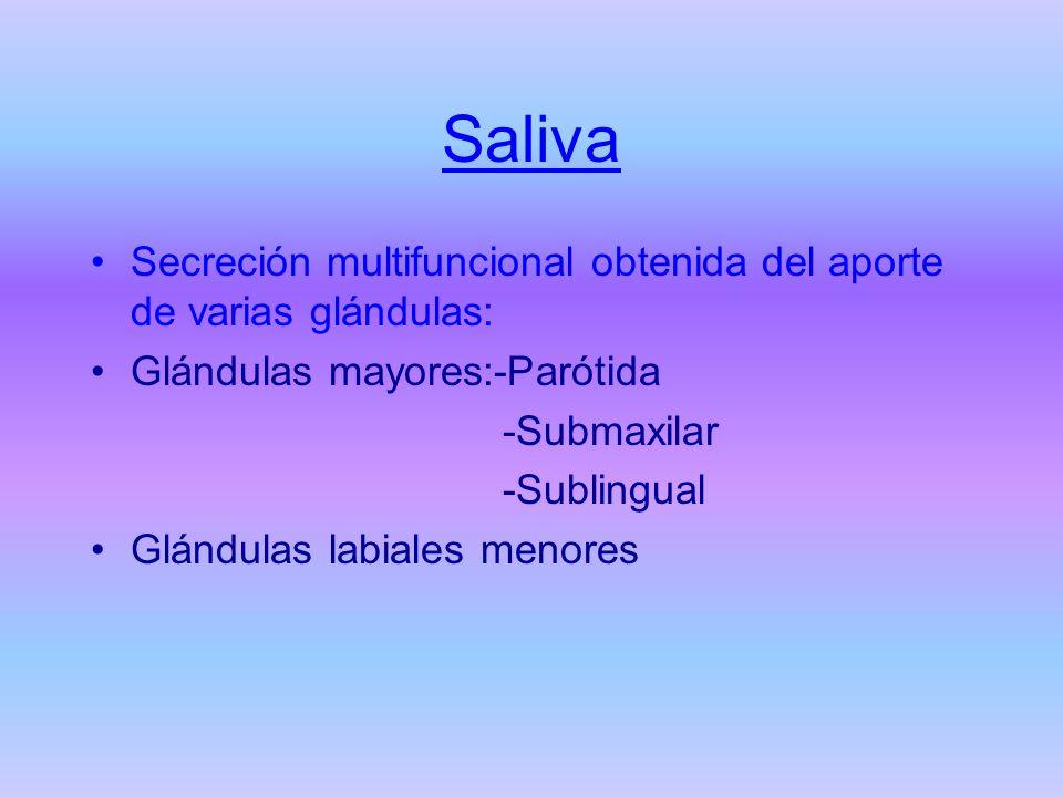 Saliva Secreción multifuncional obtenida del aporte de varias glándulas: Glándulas mayores:-Parótida -Submaxilar -Sublingual Glándulas labiales menore