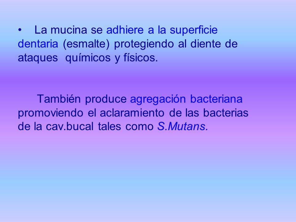 La mucina se adhiere a la superficie dentaria (esmalte) protegiendo al diente de ataques químicos y físicos. También produce agregación bacteriana pro