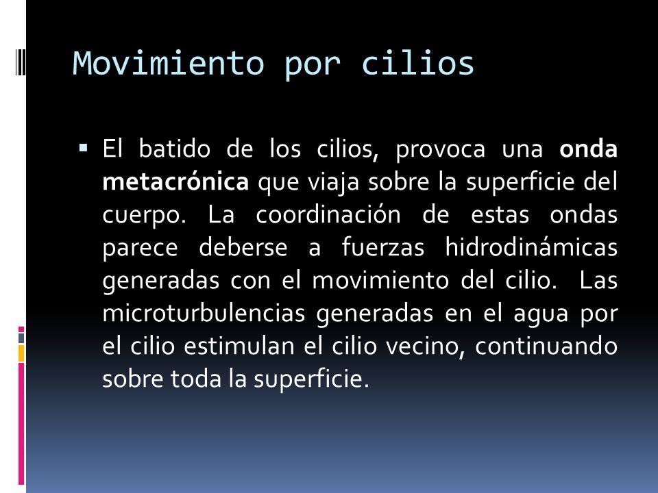 Movimiento por cilios El batido de los cilios, provoca una onda metacrónica que viaja sobre la superficie del cuerpo.