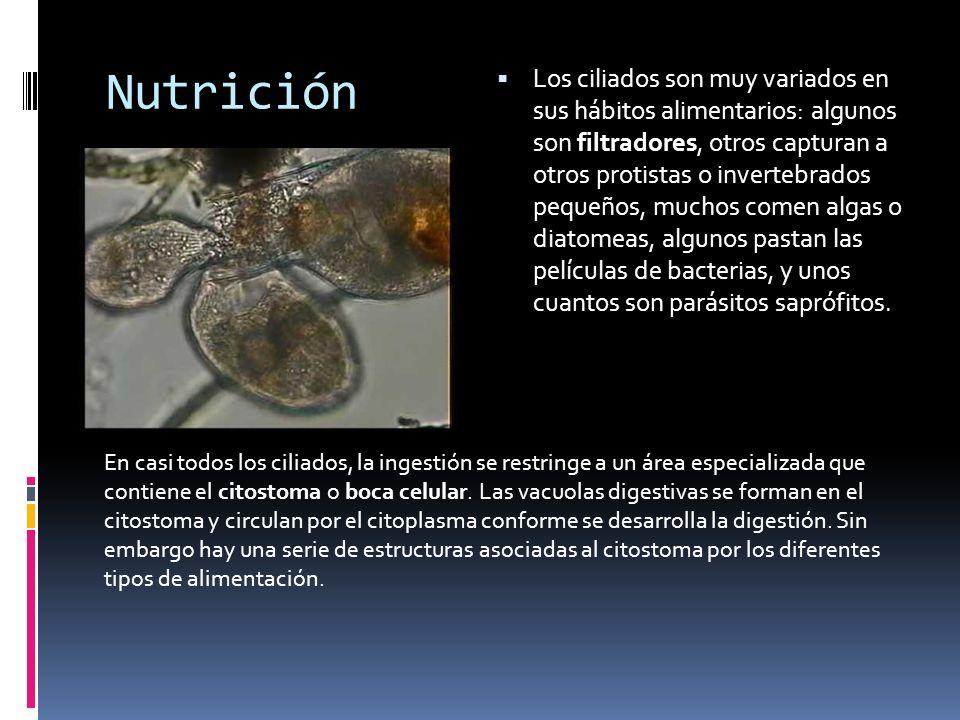 Nutrición Los ciliados son muy variados en sus hábitos alimentarios: algunos son filtradores, otros capturan a otros protistas o invertebrados pequeños, muchos comen algas o diatomeas, algunos pastan las películas de bacterias, y unos cuantos son parásitos saprófitos.