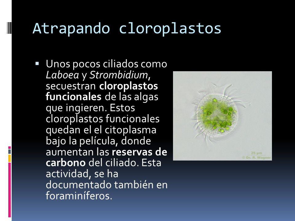 Atrapando cloroplastos Unos pocos ciliados como Laboea y Strombidium, secuestran cloroplastos funcionales de las algas que ingieren.