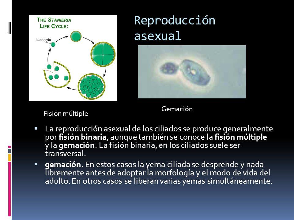 Reproducción asexual La reproducción asexual de los ciliados se produce generalmente por fisión binaria, aunque también se conoce la fisión múltiple y la gemación.