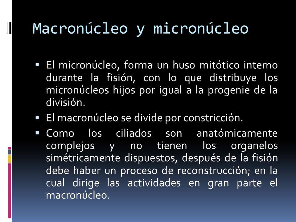 Macronúcleo y micronúcleo El micronúcleo, forma un huso mitótico interno durante la fisión, con lo que distribuye los micronúcleos hijos por igual a la progenie de la división.