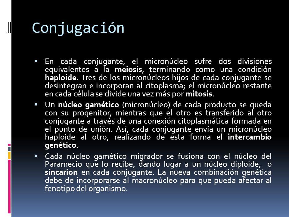Conjugación En cada conjugante, el micronúcleo sufre dos divisiones equivalentes a la meiosis, terminando como una condición haploide.