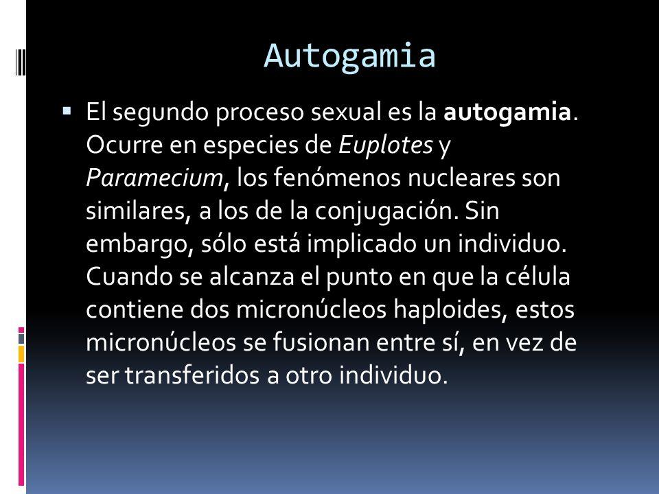 Autogamia El segundo proceso sexual es la autogamia.
