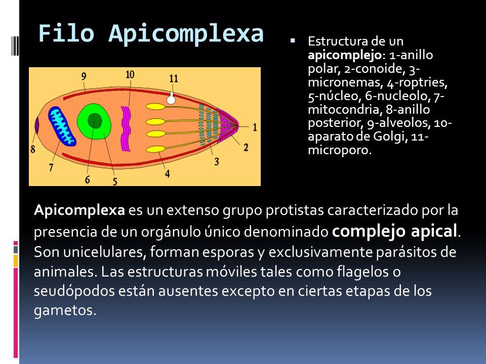 Filo Apicomplexa Estructura de un apicomplejo: 1-anillo polar, 2-conoide, 3- micronemas, 4-roptries, 5-núcleo, 6-nucleolo, 7- mitocondria, 8-anillo posterior, 9-alveolos, 10- aparato de Golgi, 11- microporo.