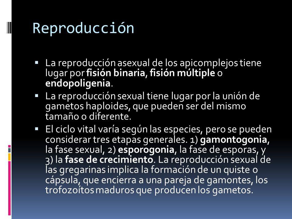Reproducción La reproducción asexual de los apicomplejos tiene lugar por fisión binaria, fisión múltiple o endopoligenia.