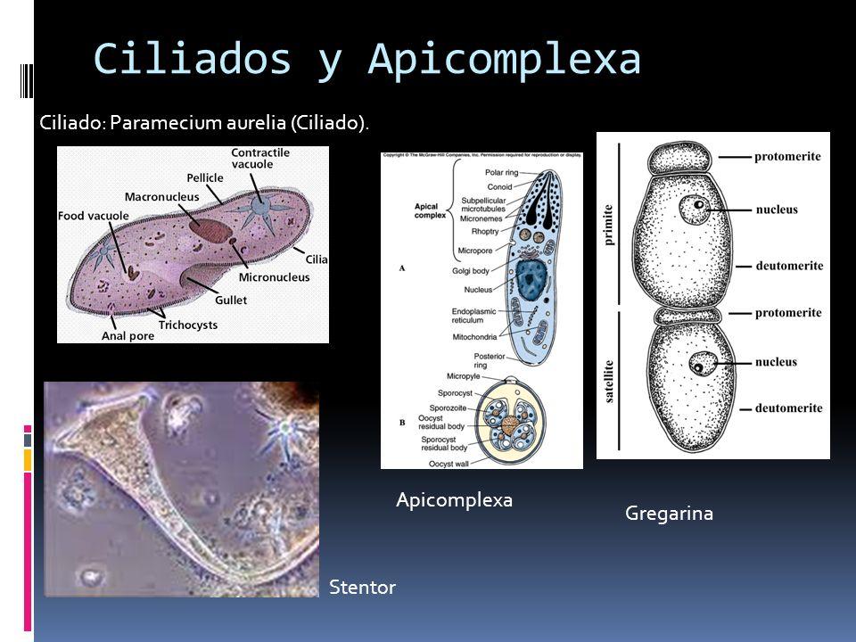 Reproducción Los ciliados tienen dos tipos de núcleos en cada célula.