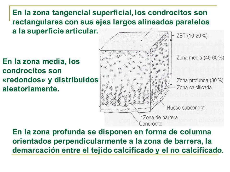 En la zona profunda se disponen en forma de columna orientados perpendicularmente a la zona de barrera, la demarcación entre el tejido calcificado y e