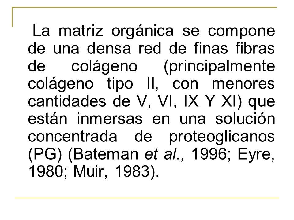 La matriz orgánica se compone de una densa red de finas fibras de colágeno (principalmente colágeno tipo Il, con menores cantidades de V, VI, IX Y XI)