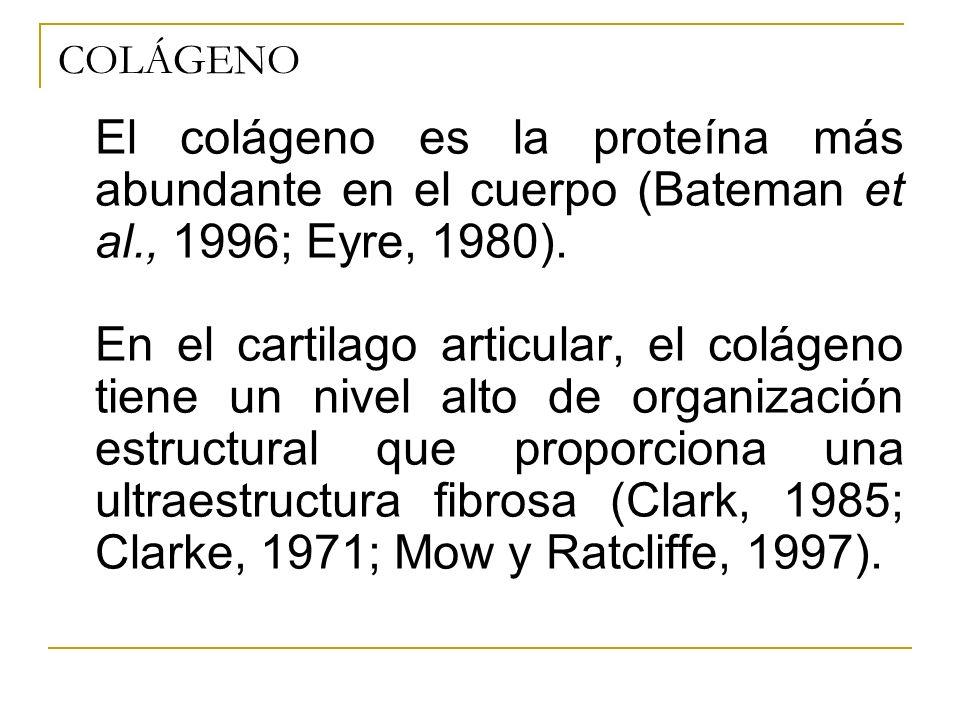 COLÁGENO El colágeno es la proteína más abundante en el cuerpo (Bateman et al., 1996; Eyre, 1980). En el cartilago articular, el colágeno tiene un niv