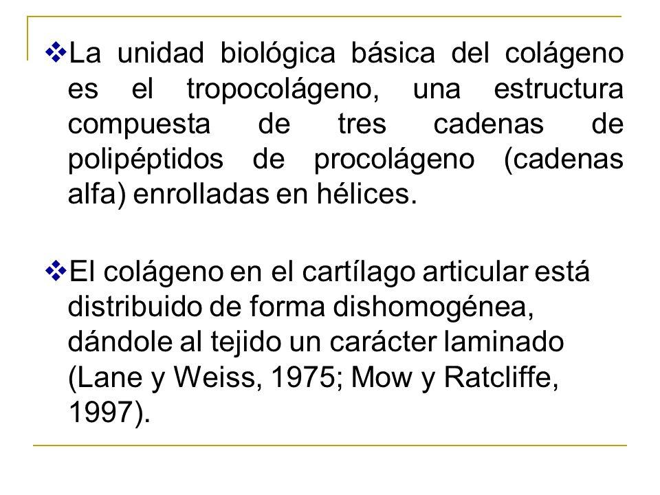 La unidad biológica básica del colágeno es el tropocolágeno, una estructura compuesta de tres cadenas de polipéptidos de procolágeno (cadenas alfa) en