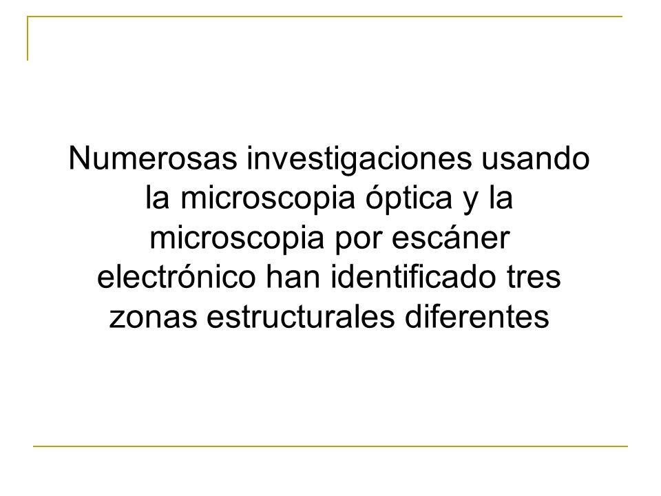 Numerosas investigaciones usando la microscopia óptica y la microscopia por escáner electrónico han identificado tres zonas estructurales diferentes