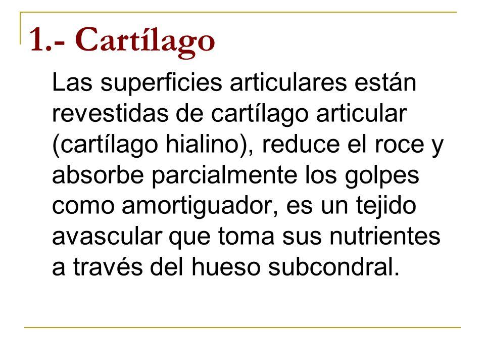 1.- Cartílago Las superficies articulares están revestidas de cartílago articular (cartílago hialino), reduce el roce y absorbe parcialmente los golpe