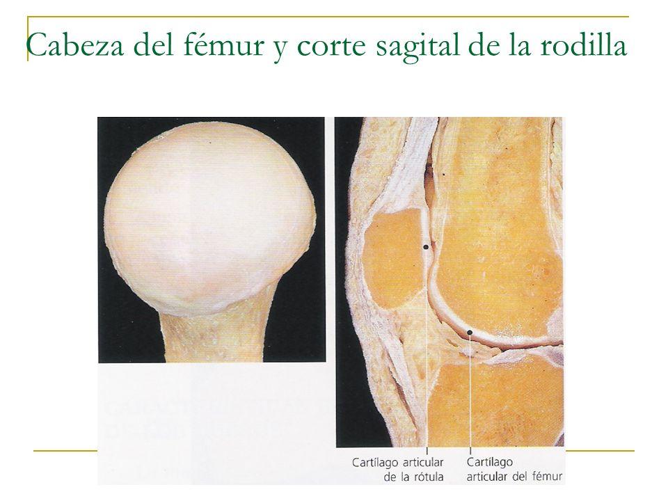 Durante la función articular, las fuerzas en la superficie articular pueden variar de casi cero a más de 10 veces el peso del cuerpo (Andriacchi et al., 1997; Paul, 1976).