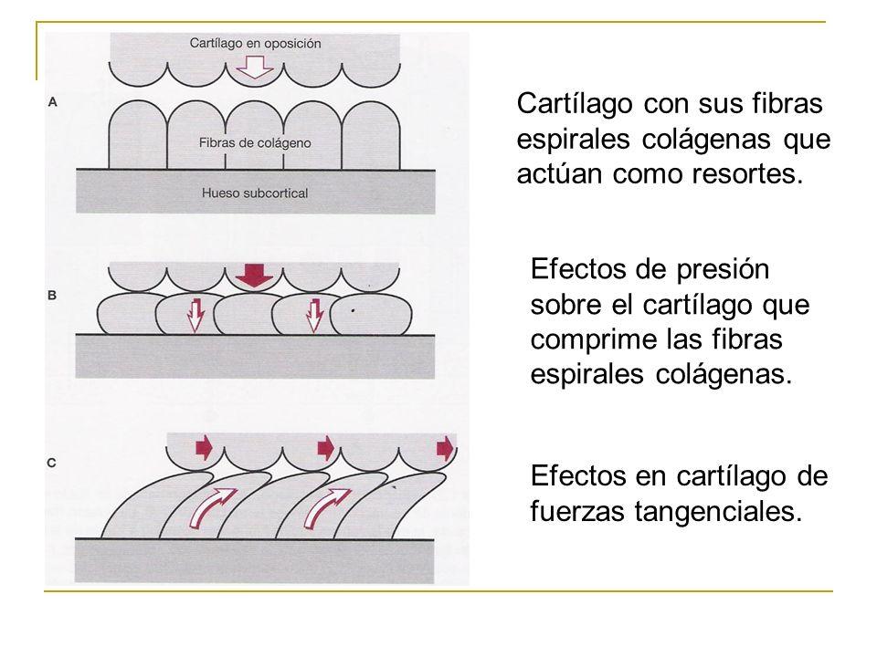 Cartílago con sus fibras espirales colágenas que actúan como resortes. Efectos de presión sobre el cartílago que comprime las fibras espirales colágen