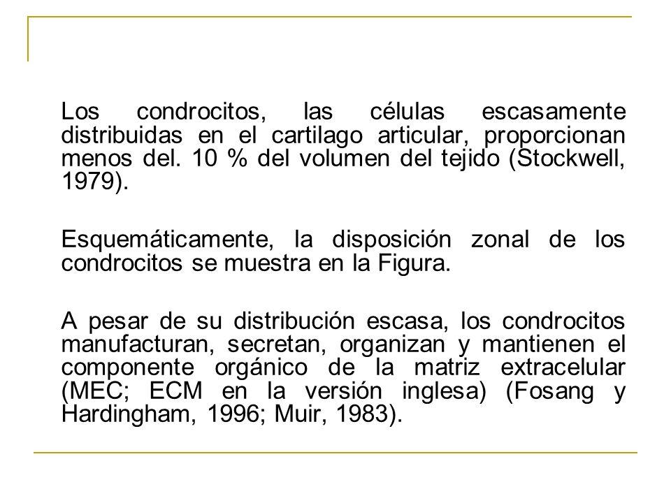 Los condrocitos, las células escasamente distribuidas en el cartilago articular, proporcionan menos del. 10 % del volumen del tejido (Stockwell, 1979)