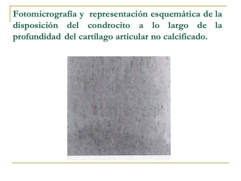 En la zona profunda se disponen en forma de columna orientados perpendicularmente a la zona de barrera, la demarcación entre el tejido calcificado y el no calcificado.