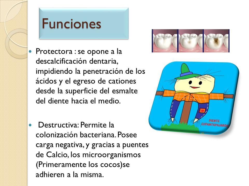 FuncionesFunciones Protectora : se opone a la descalcificación dentaria, impidiendo la penetración de los ácidos y el egreso de cationes desde la supe
