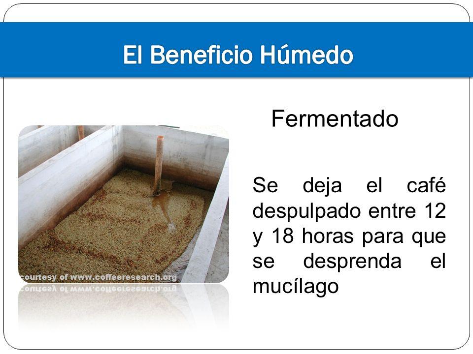 Fase enfriamiento Los granos de café deben ser enfriados rápidamente para no sobre tostarlos en su propio calor Después de enfriar los granos aún están inestables, liberando dióxido de carbono por varias semanas