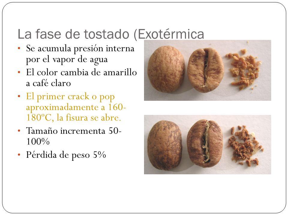 La fase de tostado (Exotérmica Se acumula presión interna por el vapor de agua El color cambia de amarillo a café claro El primer crack o pop aproxima
