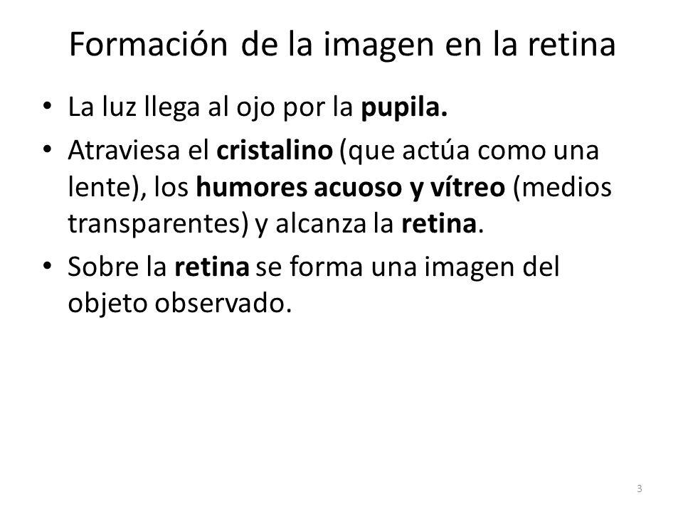 Formación de la imagen en la retina La luz llega al ojo por la pupila.
