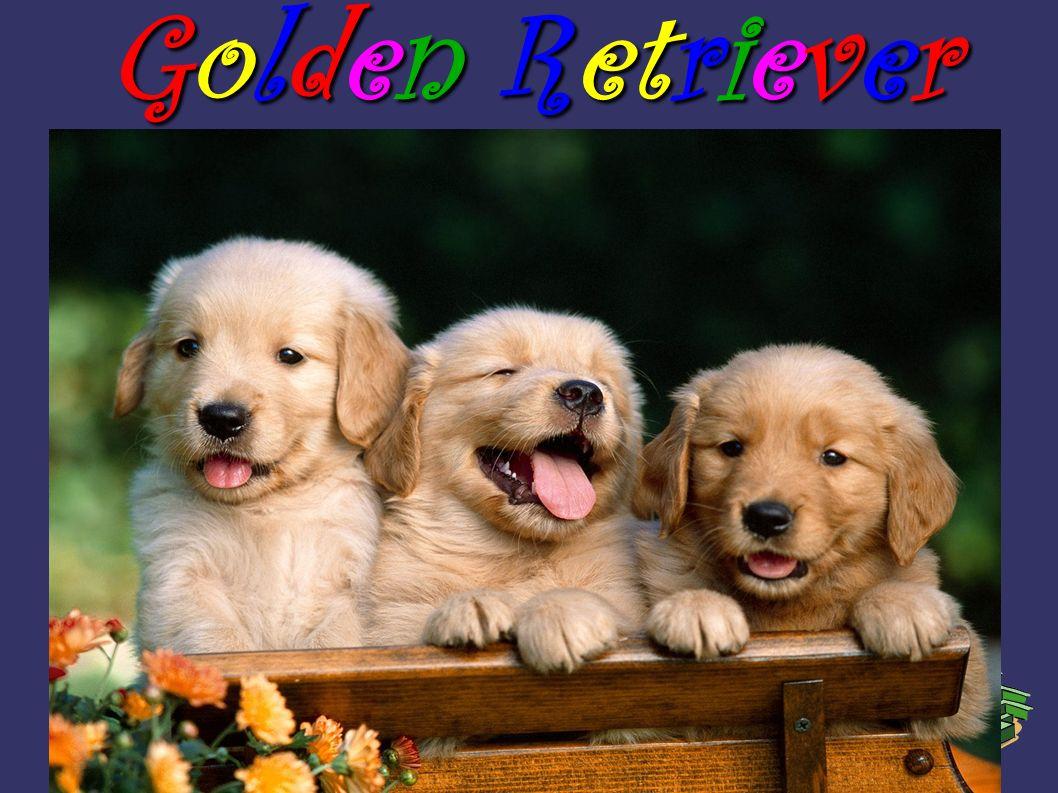 Orígenes Este precioso perro viene de el reino unido y proviene de dos razas que son el Agua Sspaniel Tweed y el Setter Ondulado-Estacado Retriever: Este es el Setter Ondulado-Estacado Retriever