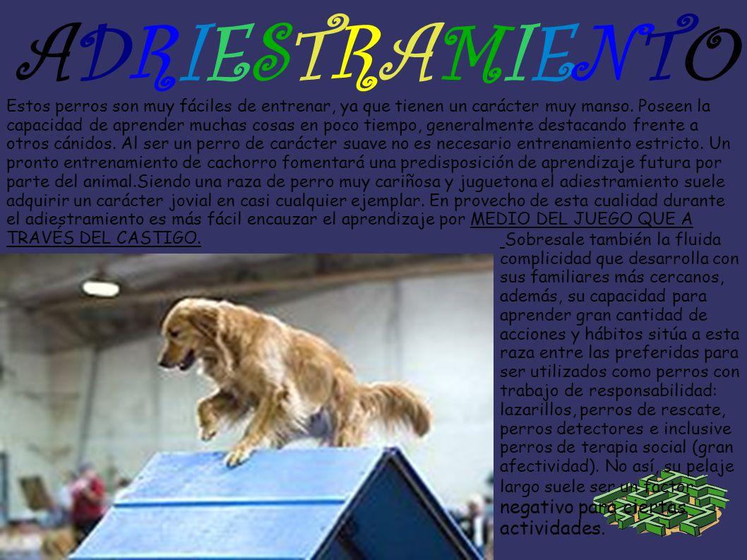 ADRIESTRAMIENTOADRIESTRAMIENTO Estos perros son muy fáciles de entrenar, ya que tienen un carácter muy manso. Poseen la capacidad de aprender muchas c