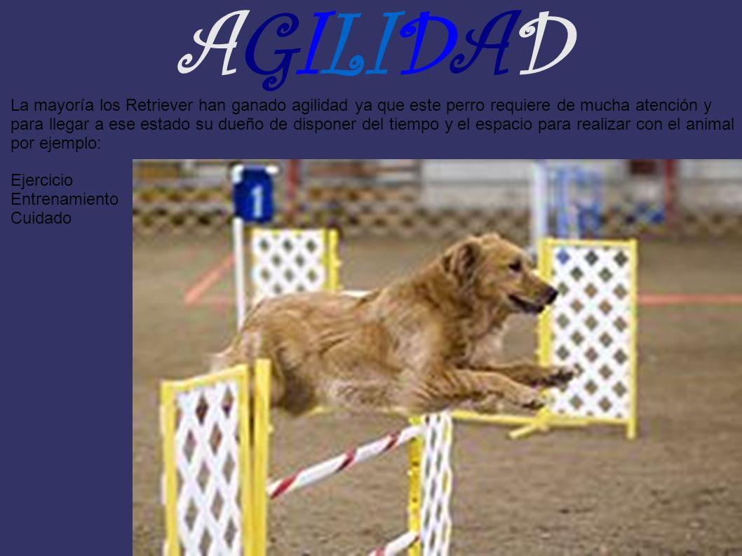 AGILIDAD La mayoría los Retriever han ganado agilidad ya que este perro requiere de mucha atención y para llegar a ese estado su dueño de disponer del