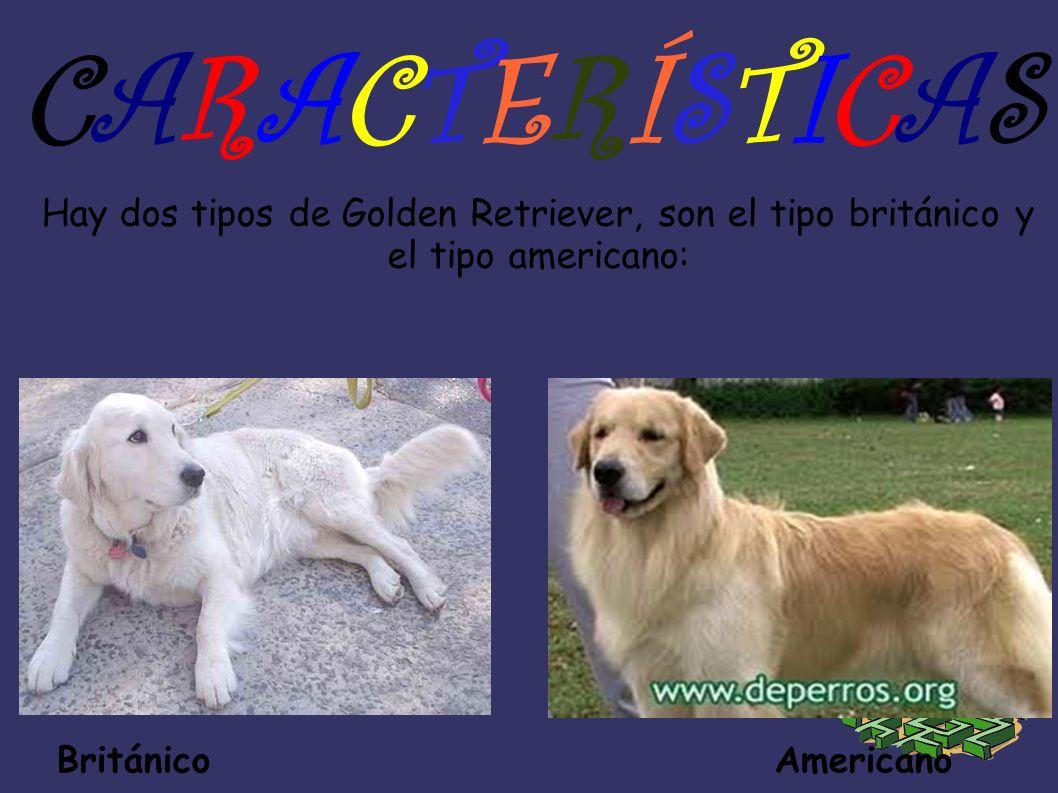 Ahora teneis aquí a los Golden s Británico y Americano en cachorros: Británico Americano