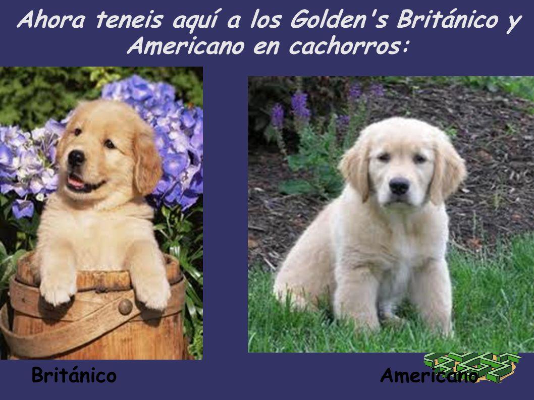Ahora teneis aquí a los Golden's Británico y Americano en cachorros: Británico Americano