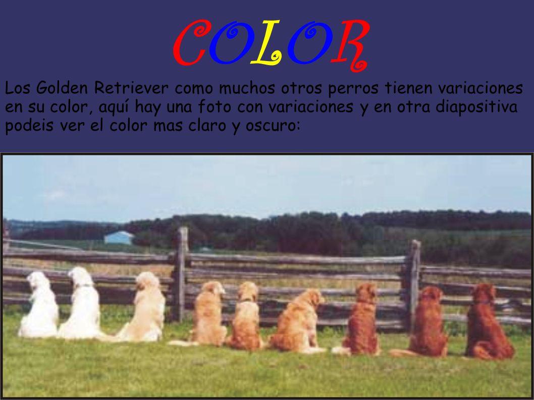 COLORCOLOR Los Golden Retriever como muchos otros perros tienen variaciones en su color, aquí hay una foto con variaciones y en otra diapositiva podei