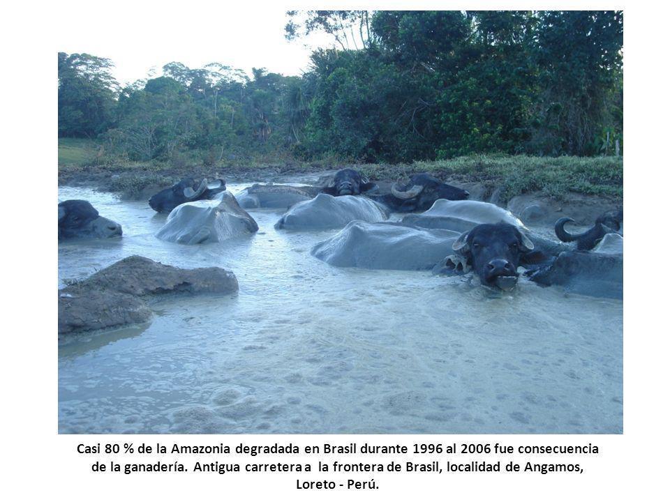 Casi 80 % de la Amazonia degradada en Brasil durante 1996 al 2006 fue consecuencia de la ganadería. Antigua carretera a la frontera de Brasil, localid