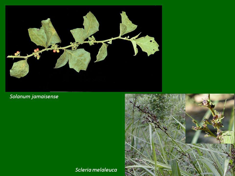 Solanum jamaisense Scleria melaleuca