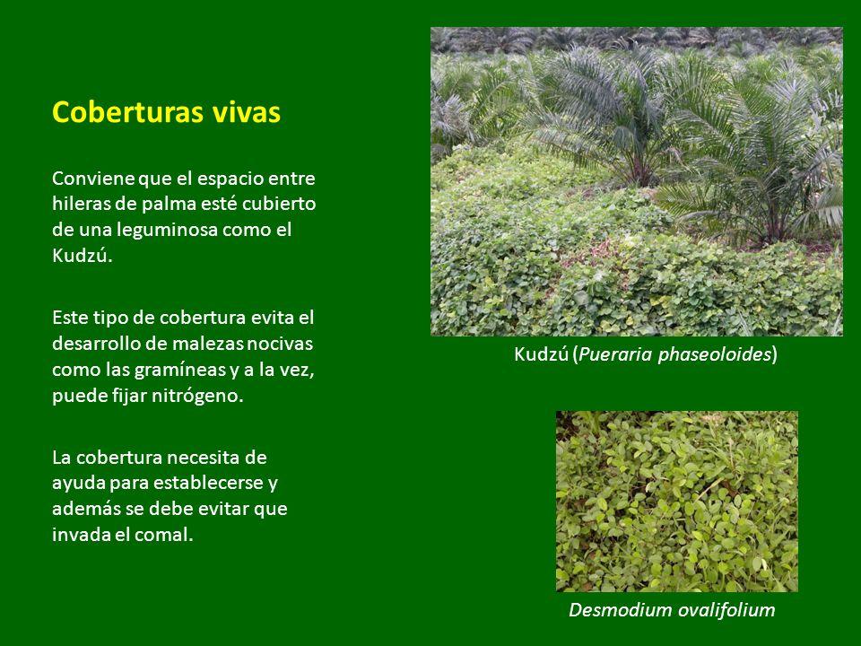 Desmodium ovalifolium Kudzú (Pueraria phaseoloides) Coberturas vivas Conviene que el espacio entre hileras de palma esté cubierto de una leguminosa co
