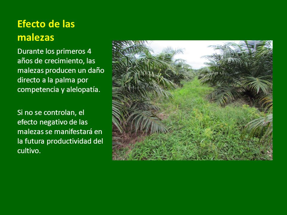 Desmodium ovalifolium Kudzú (Pueraria phaseoloides) Coberturas vivas Conviene que el espacio entre hileras de palma esté cubierto de una leguminosa como el Kudzú.