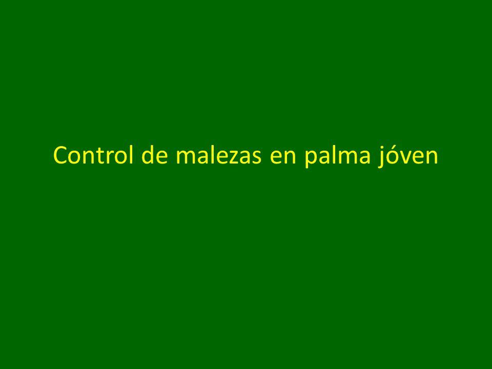 Control de malezas en palma jóven