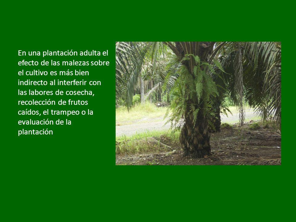 En una plantación adulta el efecto de las malezas sobre el cultivo es más bien indirecto al interferir con las labores de cosecha, recolección de frut