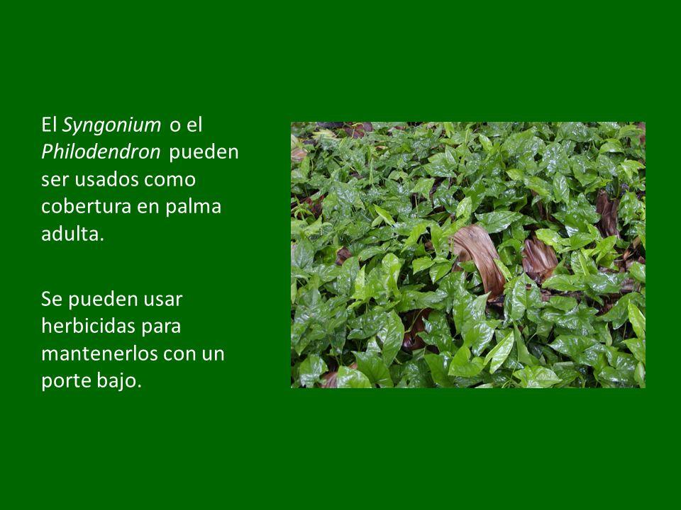 El Syngonium o el Philodendron pueden ser usados como cobertura en palma adulta. Se pueden usar herbicidas para mantenerlos con un porte bajo.