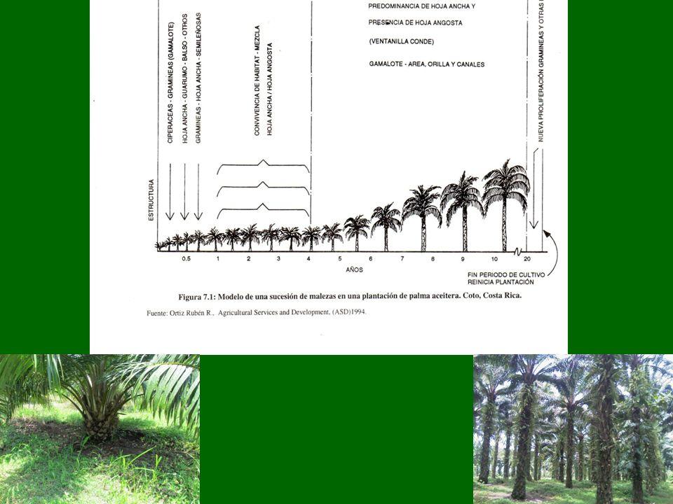 La raíz La palma tiene un sistema radicular bastante superficial.