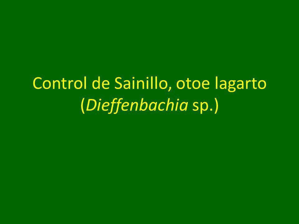Control de Sainillo, otoe lagarto (Dieffenbachia sp.)