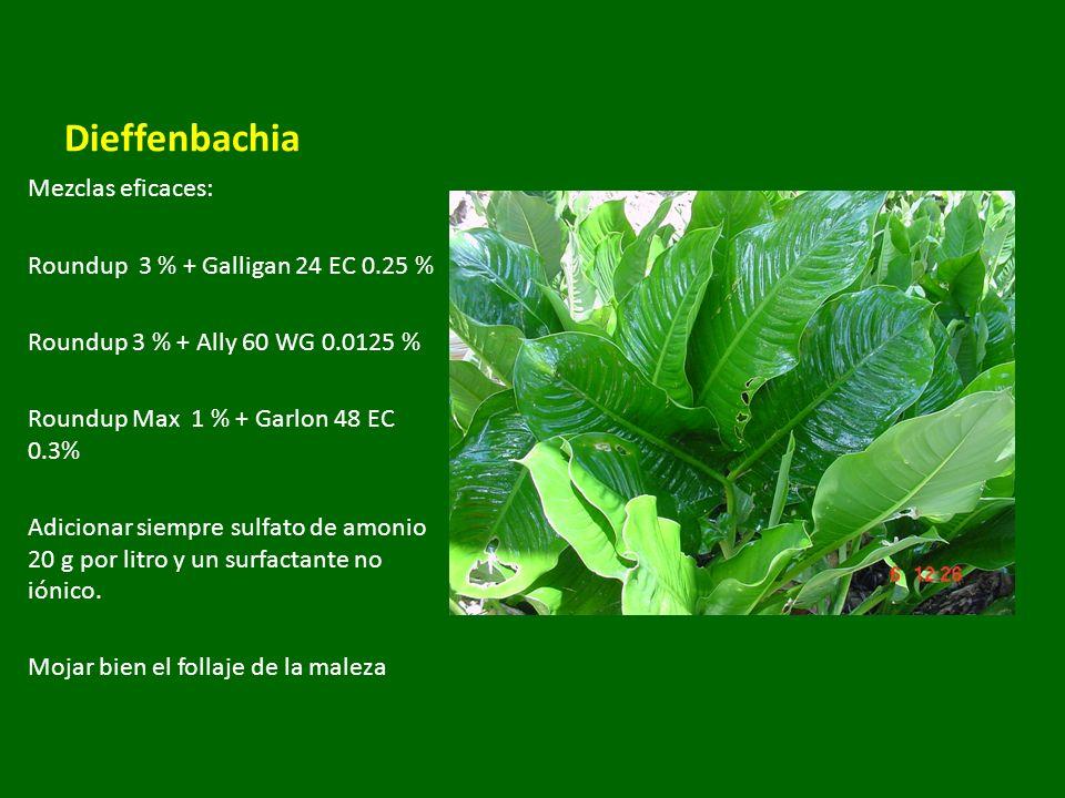 Dieffenbachia Mezclas eficaces: Roundup 3 % + Galligan 24 EC 0.25 % Roundup 3 % + Ally 60 WG 0.0125 % Roundup Max 1 % + Garlon 48 EC 0.3% Adicionar si