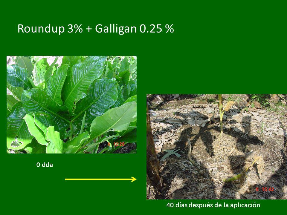 Roundup 3% + Galligan 0.25 % 40 días después de la aplicación 0 dda
