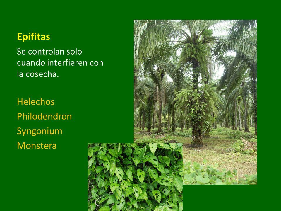 Epífitas Se controlan solo cuando interfieren con la cosecha. Helechos Philodendron Syngonium Monstera